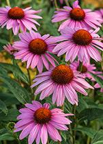 Piping Rock Echinacea Goldenseal Supplements